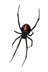 Black Widow Spider Kansas City
