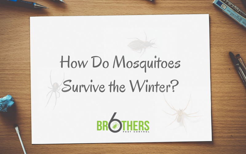 How Do Mosquitoes Survive the Winter??