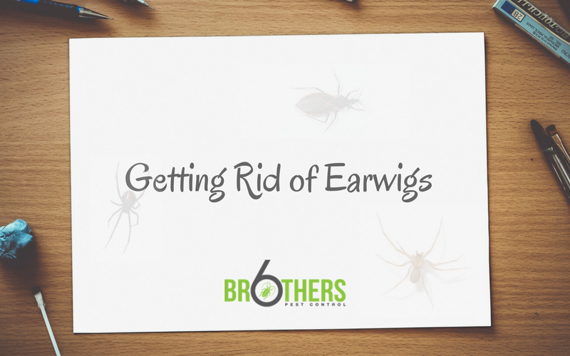 Getting Rid of Earwigs