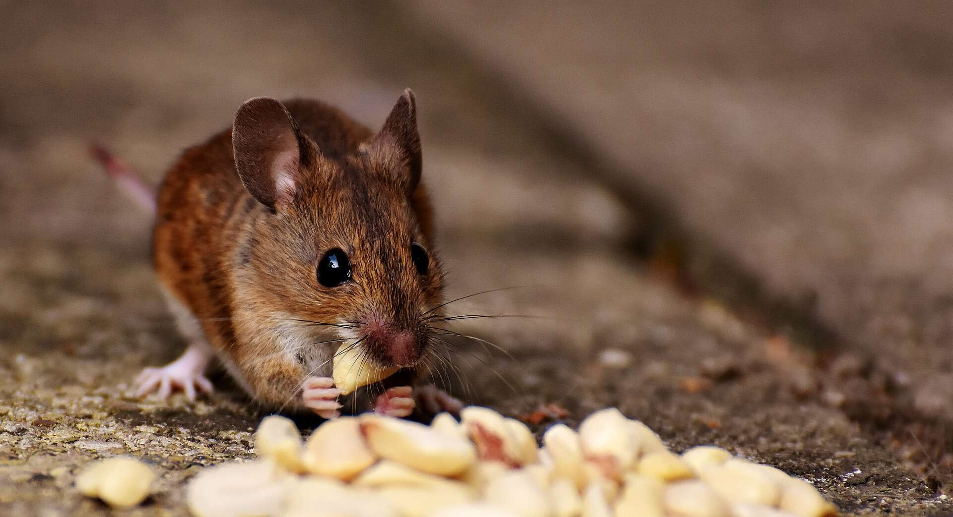 A small mouse eating peanuts