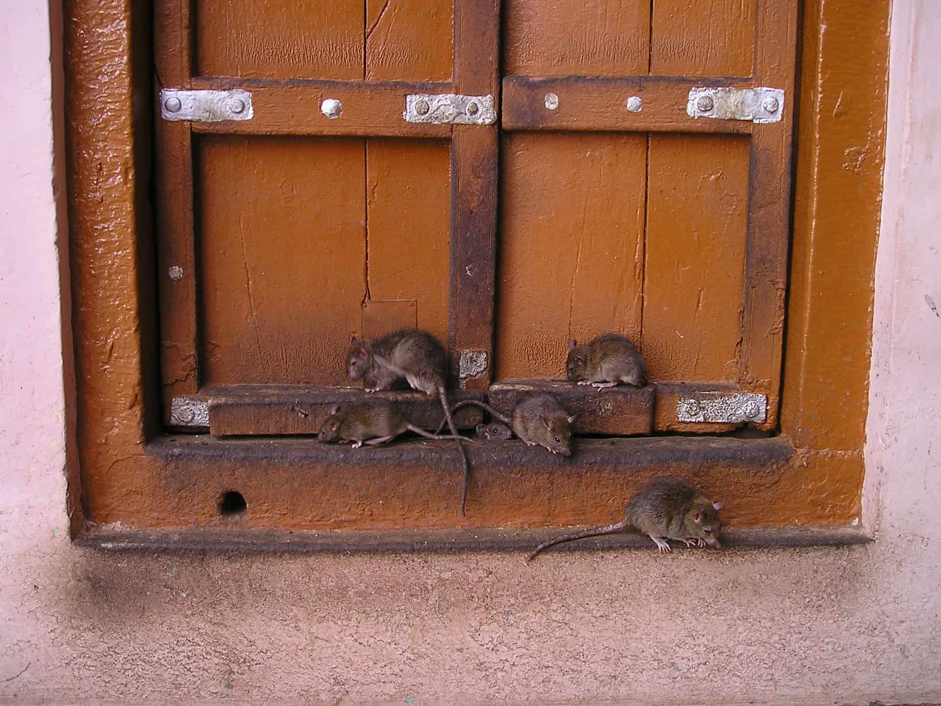 Several rats sitting on a windowsill