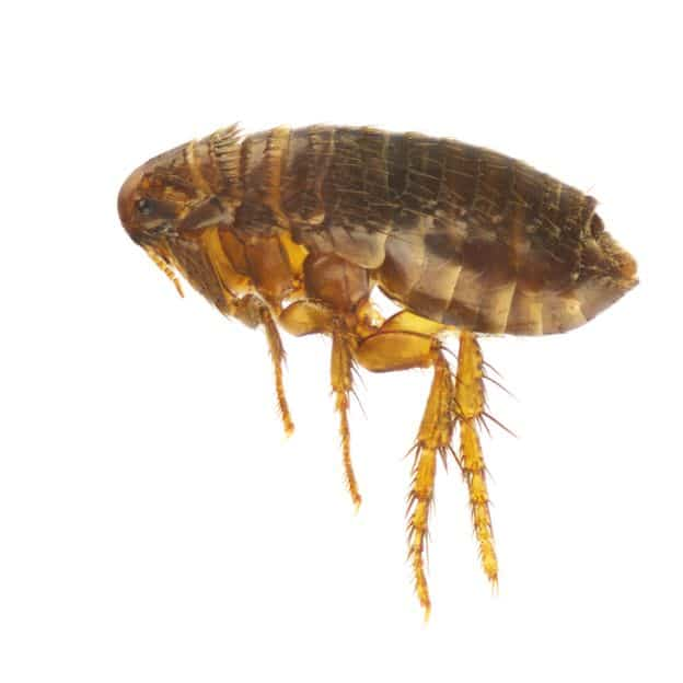 Flea Extermination Washington UT