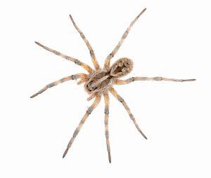 Spider Control Henderson NV