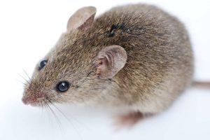 Mice Control Washington Utah