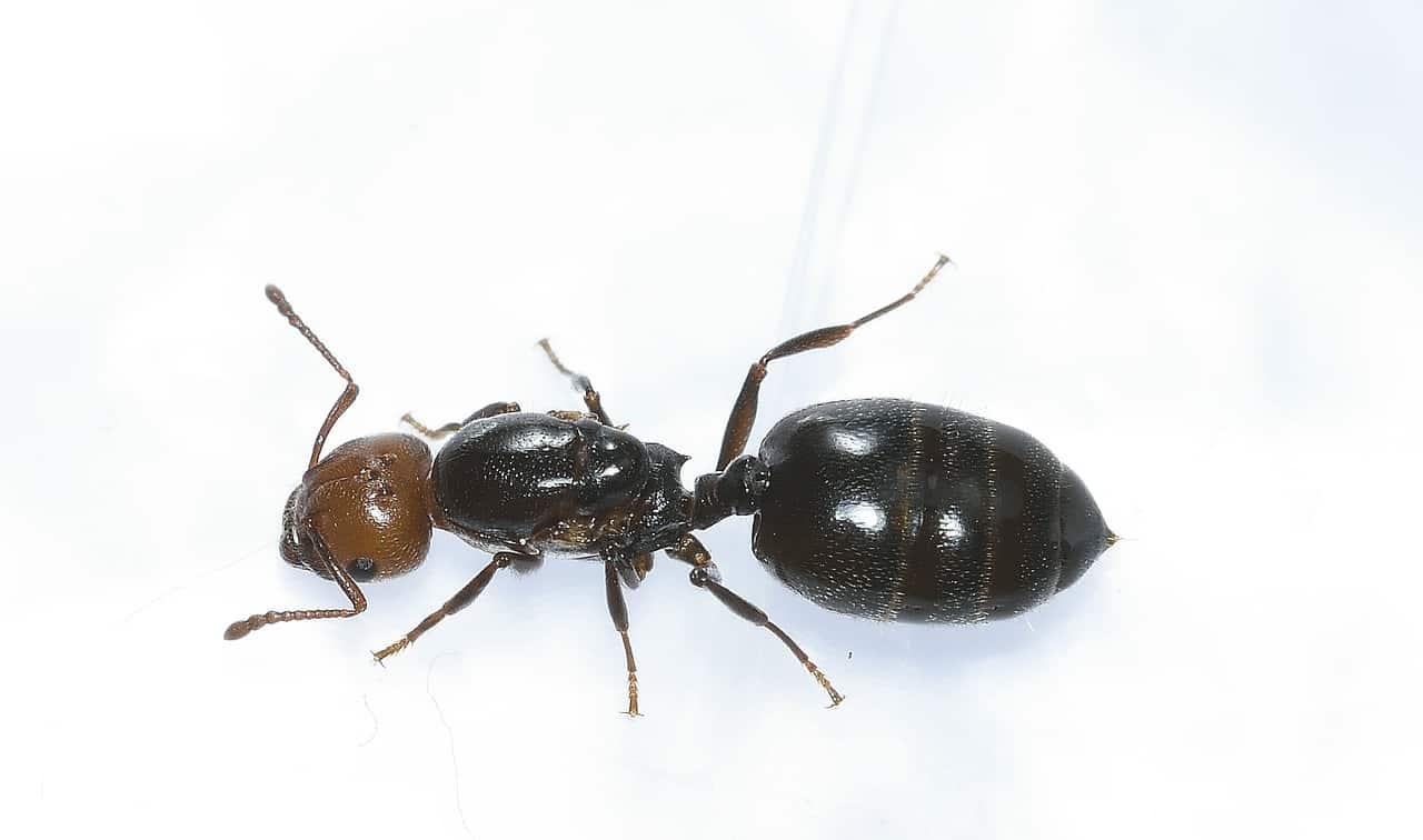 Ant Exterminator Orem Utah
