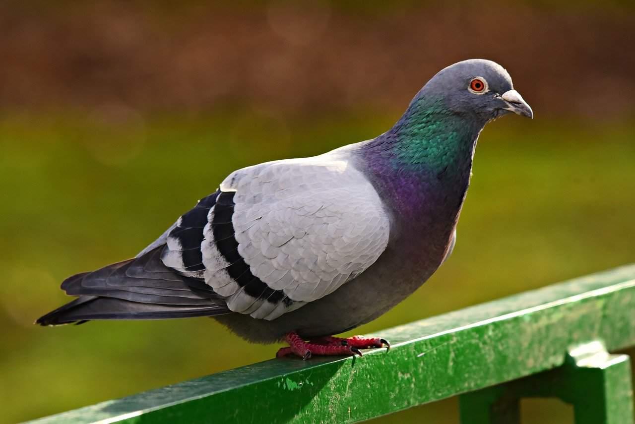 Pigeon Prevention Henderson