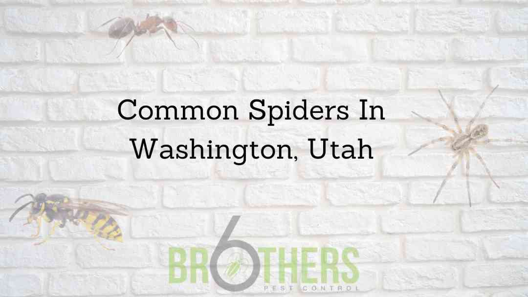 Common Spiders In Washington, Utah