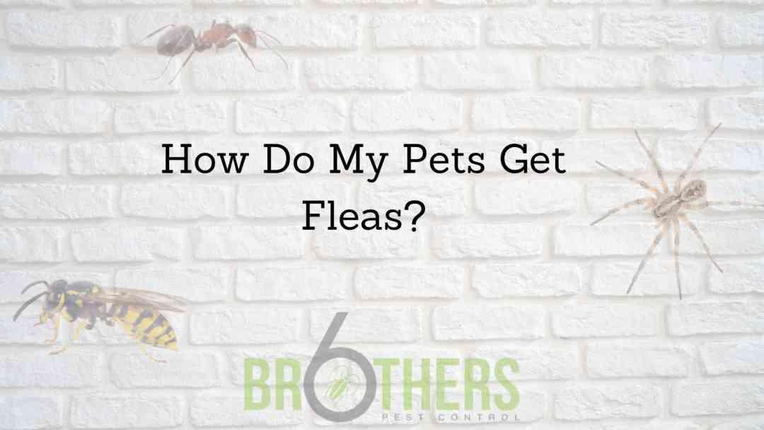 How Do My Pets Get Fleas?