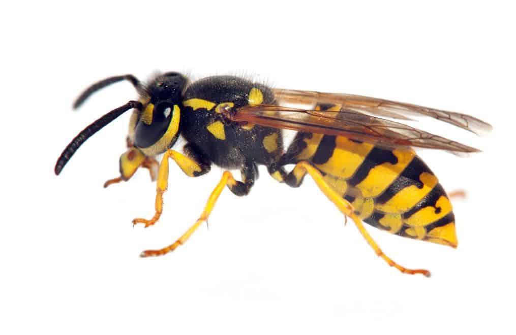Wasp Control Boise Idaho
